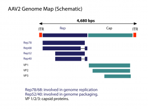 Schematic view of the AAV2 Genome Map
