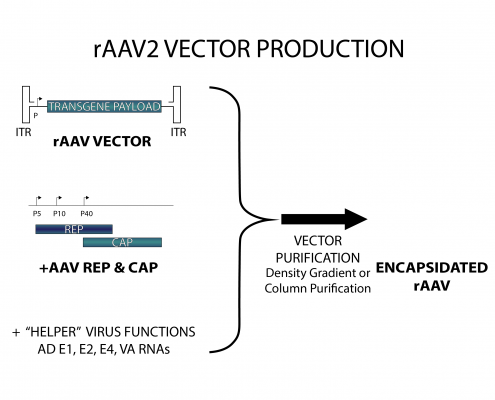Diagram showing rAAV2 Vector Production