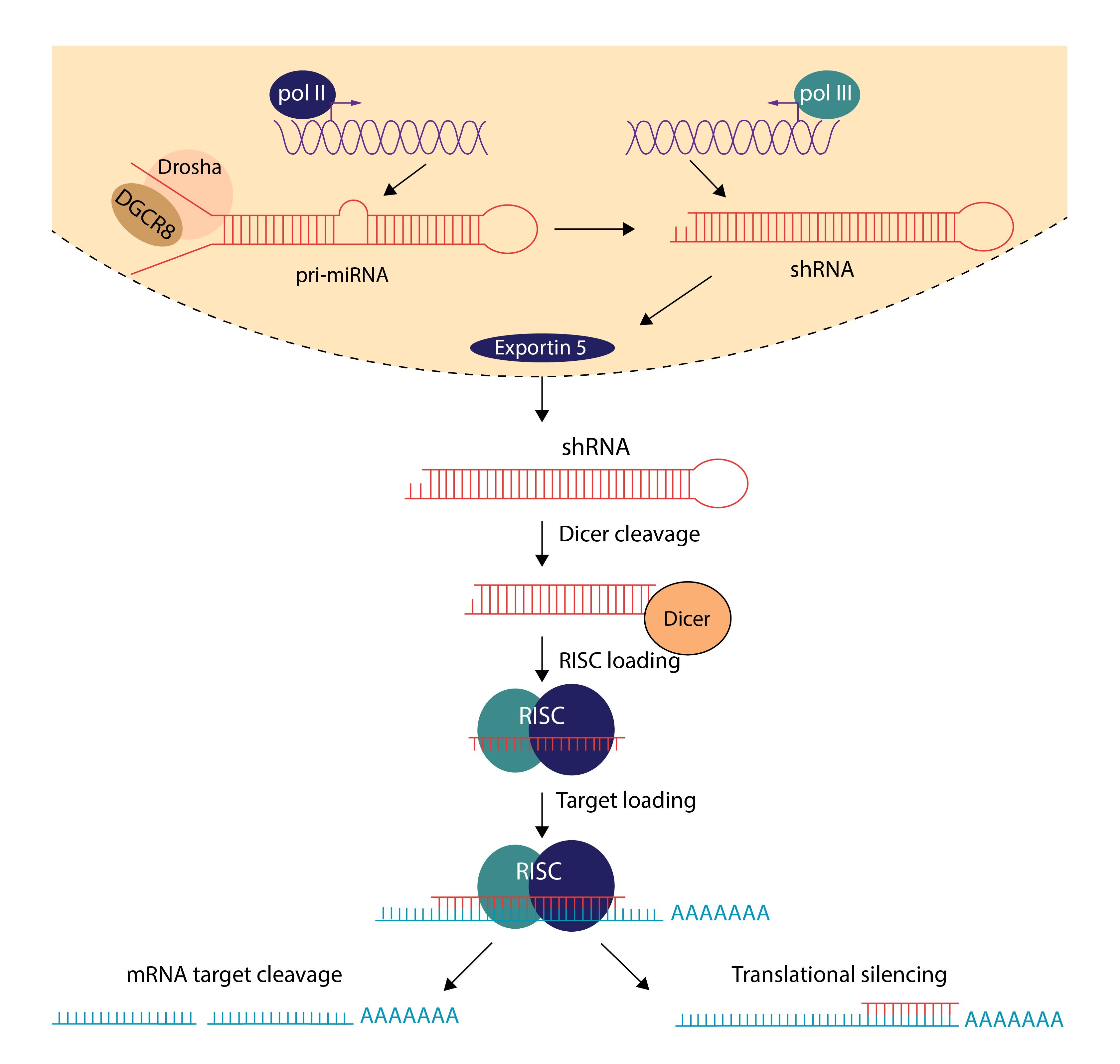 short hairpin shrna silencing aav and adenovirus vector biolabs Fragment Hairpin diagram of the shrna mechanism