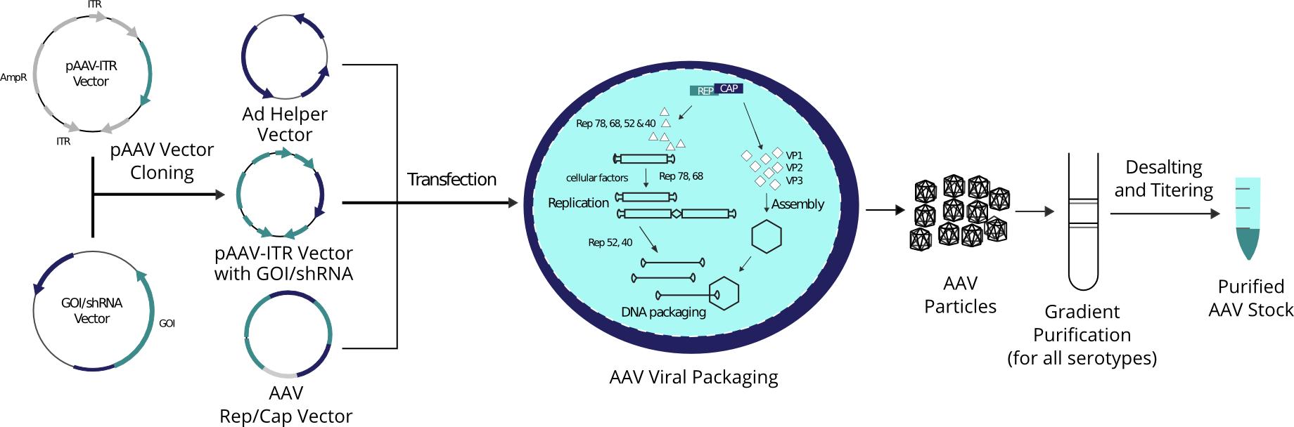 Adeno-Associated Virus (AAV) Custom Production Servce – Vector Biolabs