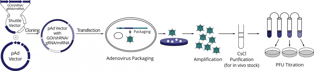 A step-by-step diagram of our adenovirus construction process.